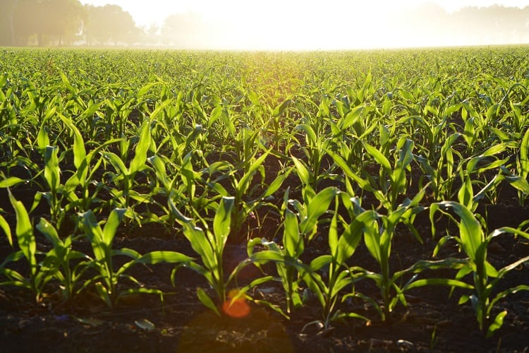 GM CROPS IN AGRICULTURE