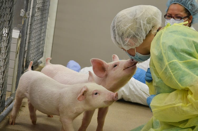 What Animals Are Best For Xenotransplantation?